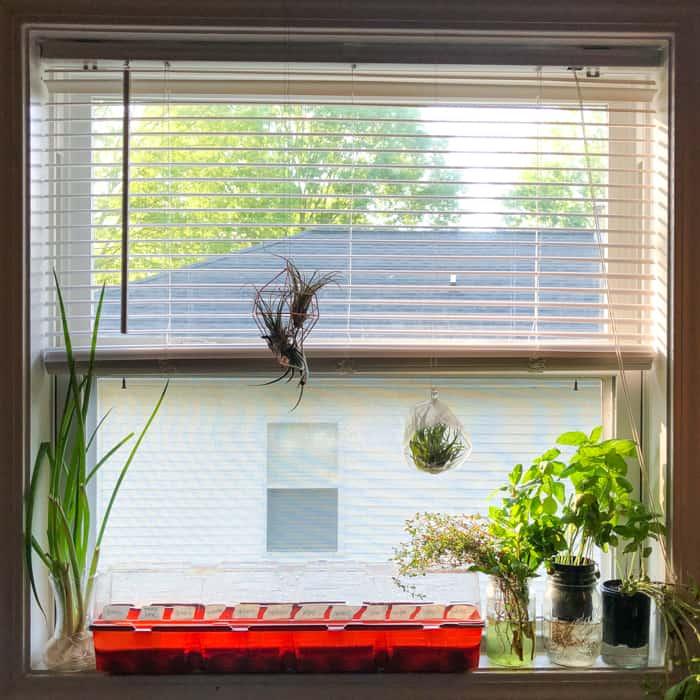 cocktail herb garden in a windowsill